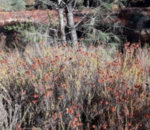 Pinnacles park things to do in Hollister buckwheat